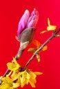 Free Magnolia Bulb Stock Photography - 6144582