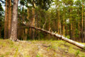 Free Oniferous Forest And Dry Tree Stock Image - 6146581