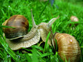 Free Two Snails On Grass Royalty Free Stock Photo - 6146725