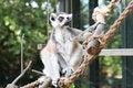 Free Lemur Monkey Stock Photos - 6148123