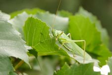 Free Locust On Leaves Stock Photography - 6141092