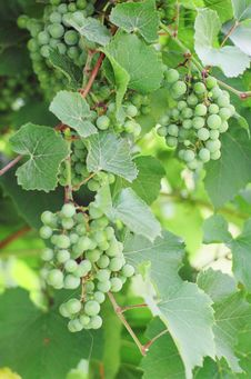 Free Green Vine Royalty Free Stock Photography - 6141277