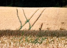 Wheat Crop Royalty Free Stock Image