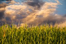 Free Corn And Stormy Clouds Royalty Free Stock Image - 6141486