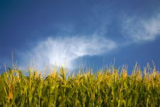 Free Corn And Whispy White Clouds Royalty Free Stock Images - 6141639