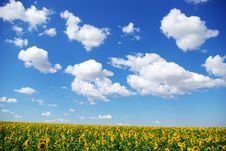 Free Sunflower Field Royalty Free Stock Photos - 6141728
