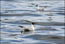 Free Ducks On Water Stock Photos - 6142953