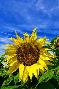 Free Suflower Stock Photos - 6143003