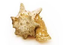 Free Sea Shell Royalty Free Stock Photography - 6143927