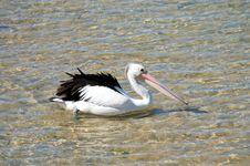 Free Australian Pelican Royalty Free Stock Photo - 6144485