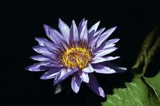 Free Aquarius Hybrid Waterlily Stock Image - 6144571