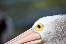 Free Australian Pelican Eye Royalty Free Stock Photos - 6144598