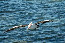 Free Flying Australian Pelican Royalty Free Stock Photography - 6144667
