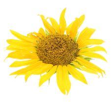 Free Sunflower Stock Photo - 6145220