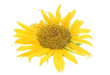 Free Sunflower Royalty Free Stock Image - 6145226