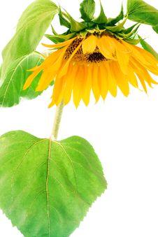 Free Sunflower Stock Photos - 6145323