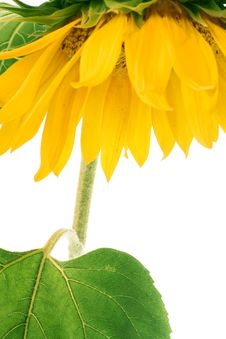 Free Sunflower Stock Photo - 6145330