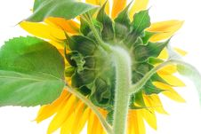 Free Sunflower Royalty Free Stock Photography - 6145417