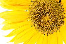 Free Sunflower Closeup Stock Photo - 6145510