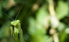 Free Praying Mantis Royalty Free Stock Photos - 6145568