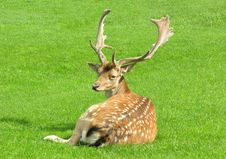 Free Fallow Stag In Field Stock Photo - 6145570