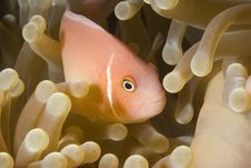 Free Pink Anemonefish Royalty Free Stock Images - 6145599