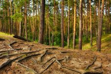 Free Great Coniferous Forest Stock Image - 6146301