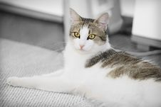Free Majestic Looking Cat Royalty Free Stock Image - 6146586