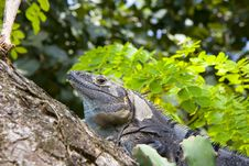 Free Grey Iguana In Tree Stock Image - 6146741