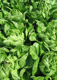 Free Fresh Green Lettuce Royalty Free Stock Images - 6146949