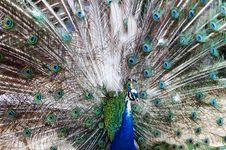 Peacock Open Train Stock Photography