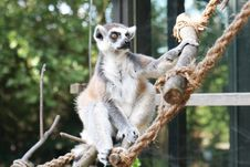 Free Lemur Monkey Stock Photos - 6148123