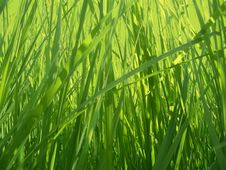 Free Grass Background Royalty Free Stock Photo - 6148335