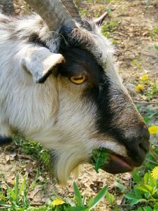 Free Goat And Dandelions Royalty Free Stock Image - 6148396