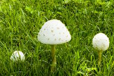 Free Three White Mushrooms In A Field Stock Image - 6149091
