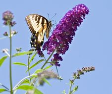 Free Eastern Swallowtail Butterfly Stock Photo - 6149470