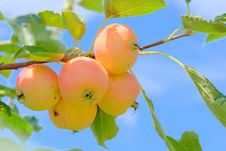 Free Apple Tree Stock Images - 6149494