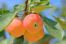 Free Apple Tree Royalty Free Stock Images - 6149509