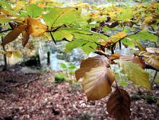 Free Autumn Beech Stock Images - 61414164