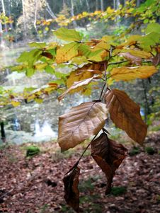 Free Autumn Beech Stock Image - 61414171