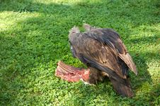 Free Vulture Eats Carrion Stock Photo - 61422600