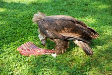 Free Vulture Eats Carrion Royalty Free Stock Images - 61423109