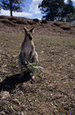 Free A Wild Kangaroo Looking For Food Royalty Free Stock Image - 6153886