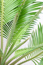 Free Cycas Stock Images - 6156354