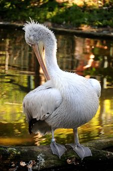 Free Pelican Portrait Royalty Free Stock Photo - 6150885