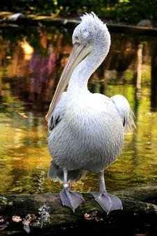 Free Pelican Portrait Stock Image - 6150891