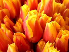 Free Tulips Royalty Free Stock Image - 6150966
