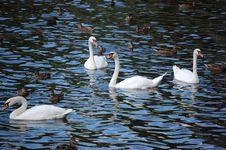 Free White Swans Stock Photos - 6151913