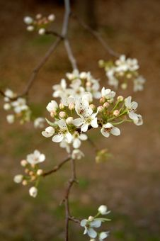 Free Cherry Blossoms In Bloom Royalty Free Stock Photo - 6152025