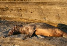 Free Sea Lion Pup Stock Photography - 6152362